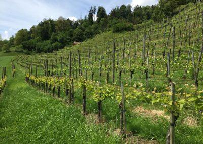 Weingut-Tellen-Rebberg